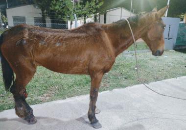 Proteccionistas buscan colaboración para seguir rescatando caballos del maltrato