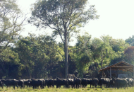 Cría de búfalos: proponen estrategias  de competitividad para la región
