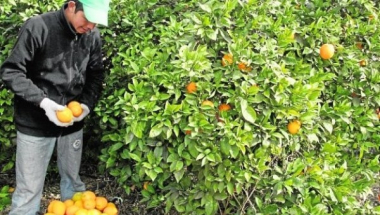 cosecha naranjas.jpg
