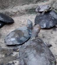 Soy Animal convoca a voluntarios para seguir rescatando tortugas en Villa Itatí