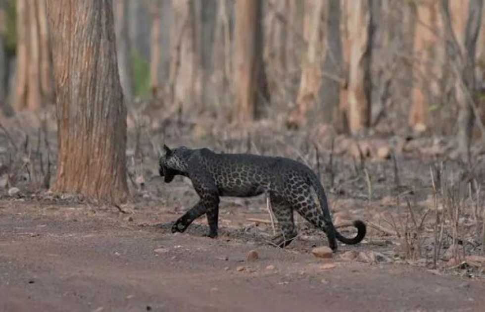 leopardo3.jpg