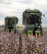 Si el clima lo permite, la cosecha de algodón retomará su ritmo