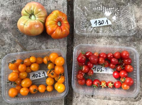 tomate-vars.jpg