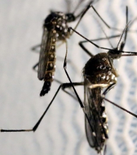 Tres nuevos casos de zika en El Sauzalito y dos de dengue en Resistencia