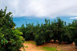 plantacion citricos.jpg