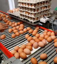 Alerta sanitario en Europa por la distribución dehuevos contaminados con insecticida