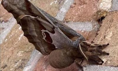Terror en México y Estados Unidos por la aparición de tarántulas con alas