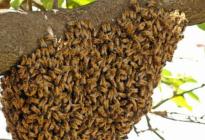 Un enjambre ataco y mato a un hombre cuando recolectaba miel