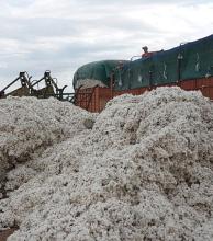Primicia nacional de algodón en San Bernardo