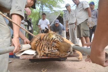 tigre bengala 1.jpg
