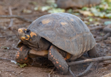 El Impenetrable será el nuevo hogar de 40 tortugas Yabotí