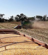 Último tramo de la cosecha de maíz con  promedios de 5300 kilos por hectárea