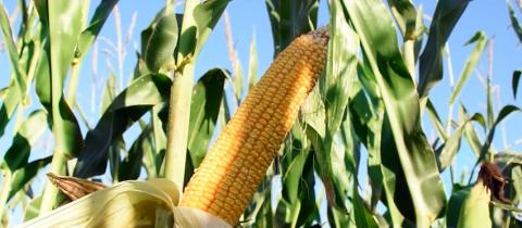 maiz-crece.jpg
