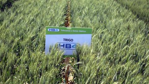 Trigo-HB4.jpg
