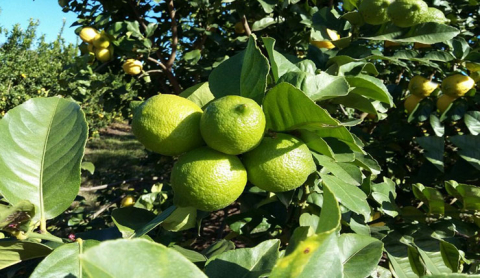 limones-para-jugo.jpg